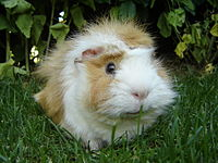 guinea pigs play