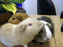 how do guinea pigs show affection